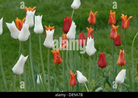 Bianco, arancione e rosso tulipani in Tulip Time Festival in Olanda, Michigan Foto Stock