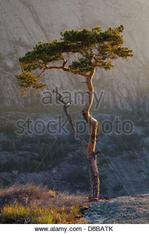 Lone Pine Tree a Måfjell in Nissedal, Telemark fylke, Norvegia. Foto Stock