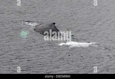 Un Humpback Whale (Megaptera novaeangliae) inizia la sua immersione visualizzando la tipica forma hunp da cui prende Foto Stock
