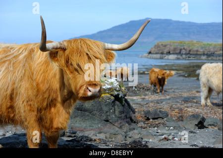 Una chiusura di una femmina di highland mucca, che mostra altri bovini su una spiaggia remota nelle highlands scozzesi. Foto Stock
