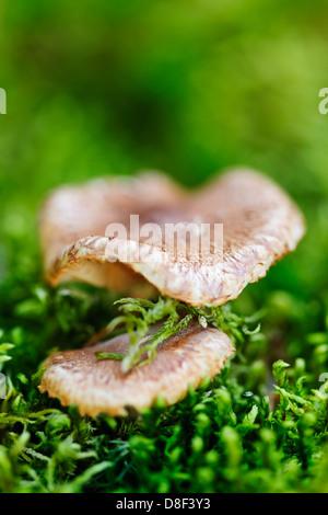 Legno marrone di funghi che crescono su verde muschio forest floor Foto Stock