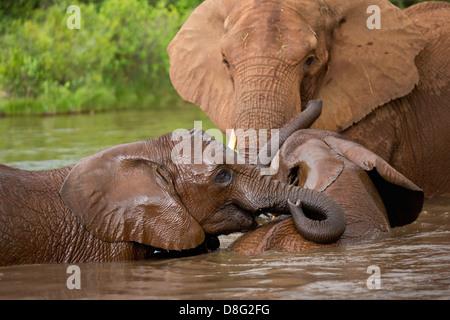Elefante africano (Loxodonta africana)madre e i giovani vitelli avente una nuotata.Sud Africa Foto Stock