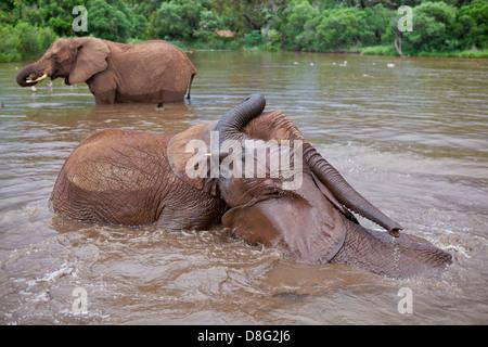 Elefante africano (Loxodonta africana)giovani vitelli giocando in acqua.Sud Africa Foto Stock