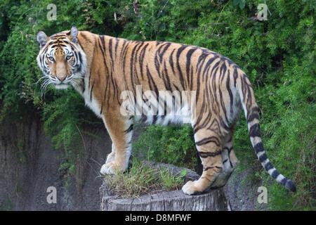Tiger su un log- una bellissima giovane tigre di Sumatra guarda forlornly presso la fotocamera durante un tardo Foto Stock