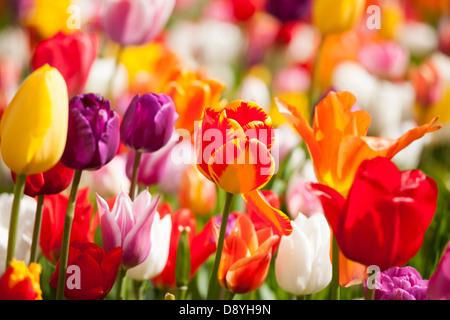 I tulipani. Close up di miscelare diversi multi colorata colorata tulipani Olandesi in un giardino confine vicino Amsterdam Olanda Paesi Bassi Foto Stock