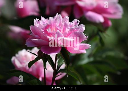 Rosa peonia, Peonie con fiori aperti Foto Stock