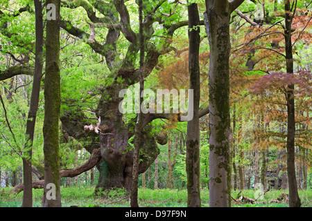 Un antico albero di quercia in profondità nel bosco a foresta Savernake, Marlborough, Wiltshire, Inghilterra. Molla (maggio). Foto Stock