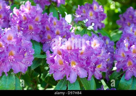 Rhododendron 'cuore viola' Foto Stock