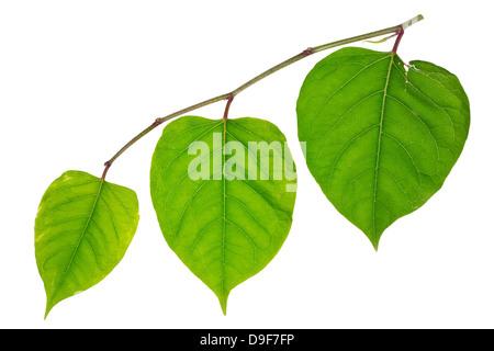 Tre lonely green darlings cuori isolati. La gioventù, maturità coraggio e il vecchio concetto di età Foto Stock