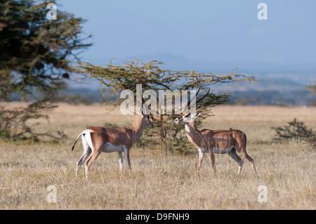 Borse di studio (gazelle Gazella granti), Samburu riserva nazionale, Kenya, Africa orientale, Africa Foto Stock