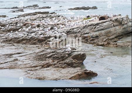 Le foche circondata da gabbiani a Kaikoura, regione di Canterbury, Isola del Sud, Nuova Zelanda Foto Stock