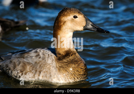 Femmine di anatra Canvasback Aythya valisineria, Fiume Choptank, Chesapeake Bay, Cambridge, Maryland Foto Stock