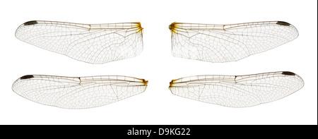 Ali di libellula isolato su bianco Foto Stock