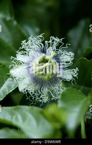 Un bianco e viola passione fiore di frutta in un ambiente naturale. Foto Stock
