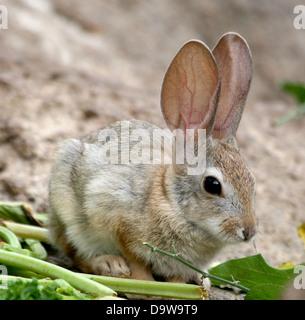 Coniglietto del bambino Foto Stock