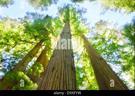 Giornata di sole a redwood grove, a nord della California. Foto Stock