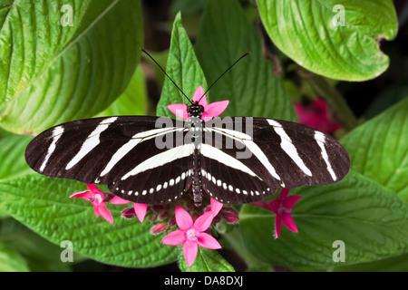Zebra Heliconia aka: Zebra Longwing (Heliconius charitonius), Costa Rica Foto Stock