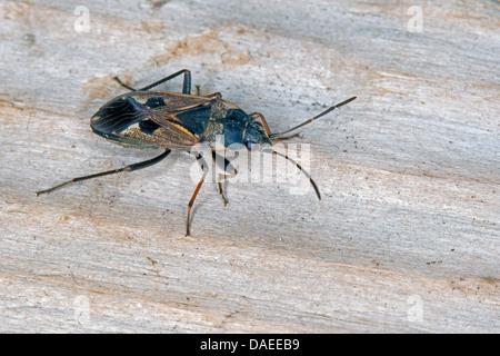 Seme bug (Rhyparochromus vulgaris), seduti su legno, Germania