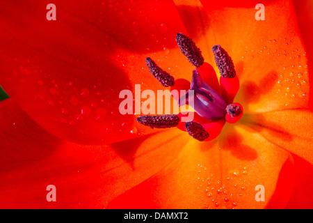 Tulip (Tulipa spec.), fiore rosso con viola e stamina Foto Stock