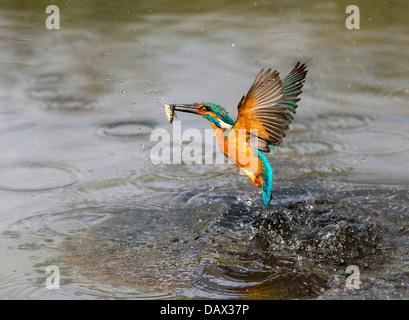 Kingfisher battenti con un pesce Foto Stock