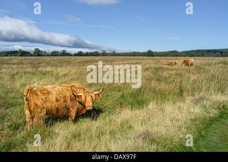 Highland scozzesi il bestiame pascola su open moorland nel cuore del North York Moors National Park vicino Levisham, Foto Stock