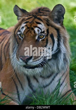 Rajiv, Bengala/tigre siberiana (panthera tigris) incroci maschio, Isle of Wight Zoo, Sandown, Isola di Wight in Foto Stock