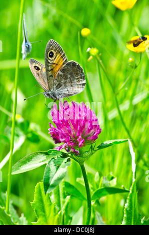 Fiore bellissimo sfondo con farfalle esotiche in Retezat montagne Foto Stock