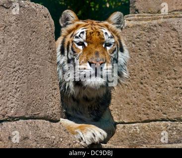 Aysha, tigre del Bengala femmina (panthera tigris tigris), Isola di Wight Zoo, Sandown, Isola di Wight in Inghilterra