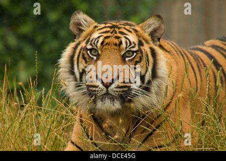 La tigre di Sumatra giacente in erba sotto la pioggia Foto Stock