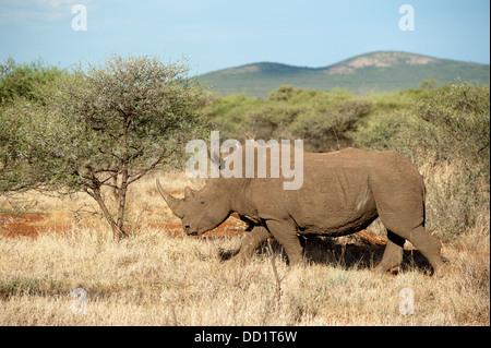 Rinoceronte bianco (Ceratotherium simum), Madikwe Game Reserve, Sud Africa Foto Stock