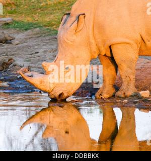 Close-up di un solitario rinoceronte bianco (Ceratotherium simum) riflesso in una piscina al tramonto, Madikwe, Foto Stock