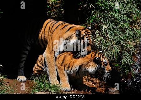 Tigre Siberiana = Panthera tigris altaica Foto Stock