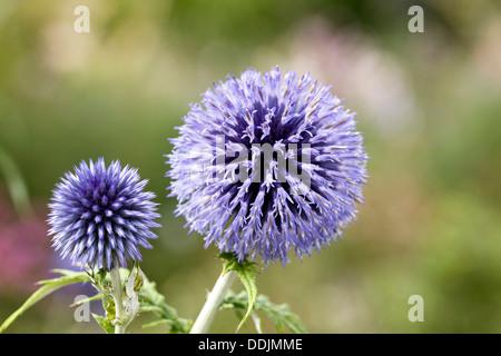 "Echinops bannaticus "" Taplow blu"". Globo fiore di cardo. Foto Stock"