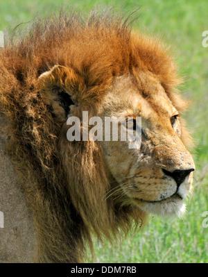 Il vecchio leone maschio closeup. Raccolta della Tanzania Foto Stock