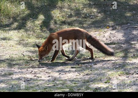 Red Fox (vulpes vulpes vulpes) sul prowl, caccia in cerca di cibo Foto Stock
