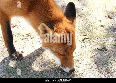 Red Fox (vulpes vulpes) prelevare un profumo e seguendo un sentiero in cerca di cibo Foto Stock