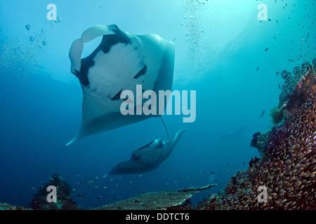 Manta ray overhead e un altro approccio. Foto Stock
