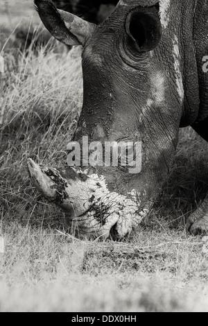 Singola bianca pascolo di Rhino: dettaglio della testa, laterale vista obliqua in monocromatico, Lake Nakuru, Kenya Foto Stock