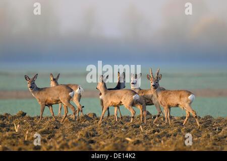 Unione Il capriolo (Capreolus capreolus), allevamento in piedi in un campo in cerca di sicurezza nella nebbia mattutina, Foto Stock