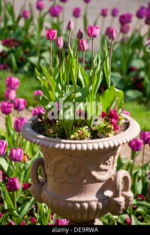 I tulipani in un giardino e la piantatrice, Cheshire, Inghilterra, Regno Unito Foto Stock