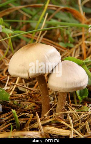 Legno agarics (Agaricus silvicola). Penyagolosa. Provincia di Castellon. Comunidad Valenciana. Spagna Foto Stock