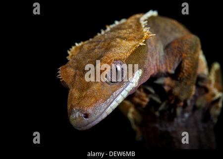 Captive, collezione privata Crested Gecko