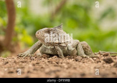 Foto di stock di un iguana verde poste su una spiaggia del Pantanal. Foto Stock