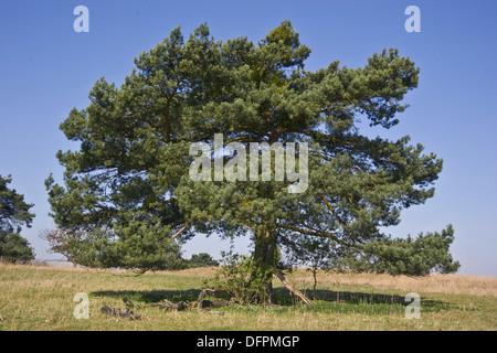 Pino silvestre, Pinus sylvestris Foto Stock
