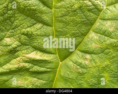 Vista dettagliata del gigante verde rabarbaro ( Gunnera Manicata ) foglia di pianta che mostra a forma di Y vena. Foto Stock