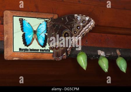 Blue Morpho butterfly (Morpho helenor marinita), recentemente emerso da crisalide in Costa Rican Conservatory della Foto Stock