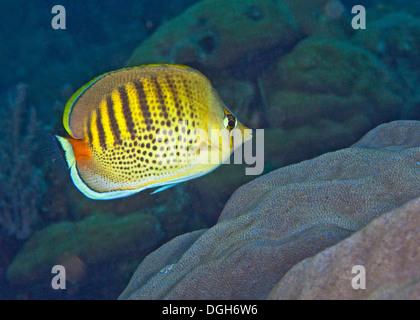 Spot-nastrare butterflyfish (Chaetodon punctatciatus), Puerto Galera, Filippine. Foto Stock