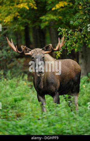 Unione Elk (Alces alces), Bull alci, captive, Baviera, Germania Foto Stock