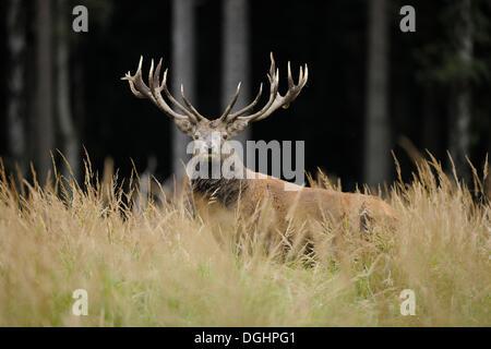 Il cervo (Cervus elaphus), feste di addio al celibato, captive, Bassa Sassonia, Germania Foto Stock