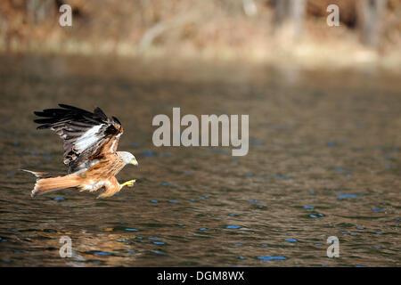 Nibbio reale (Milvus milvus) caccia al di sopra dell'acqua Foto Stock
